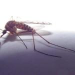 Комар - переносчик филяриоза