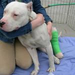 Травма задней лапы у собаки