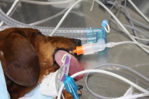 Собака под газовым наркозом